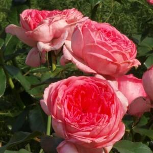 Роз де Молинар
