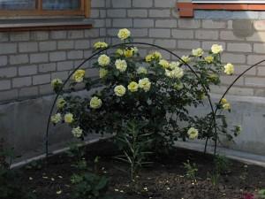 сорта чайно-гибридных роз фото и описание